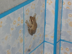 the frog who lives in our bathroom...and more often than not in our toilet seat, watch out;-)