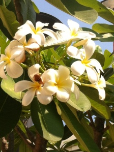 parfums subtil et inoubliable de la si belle fleur des Lao