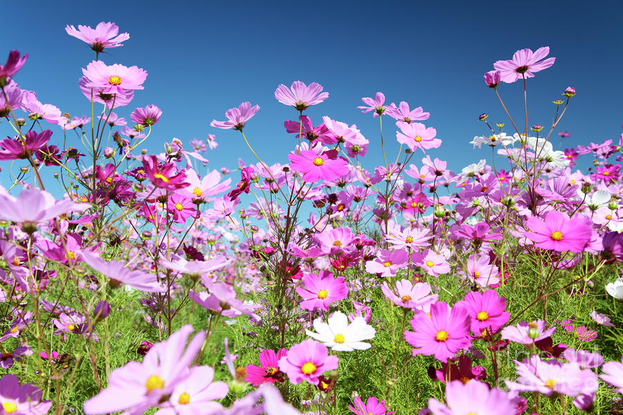 cosmos-flowers-neil-overy
