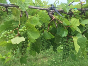 yes Quebec produces wine...and organic at that!