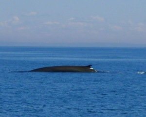 Beautiful finback whale. I saw many but this is one of my only clichés!